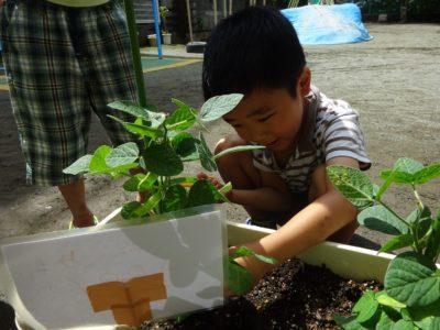 枝豆収穫DSC00365