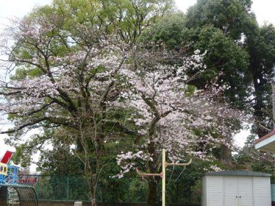桜DSC04992