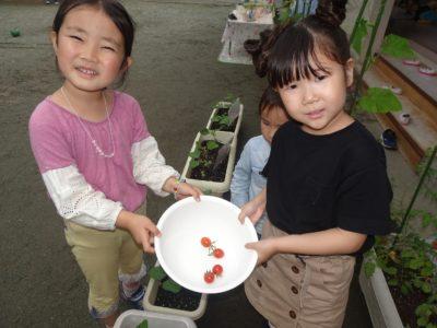 DSC00425トマト収穫